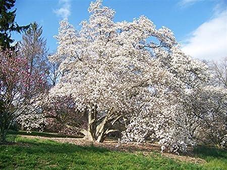 Amazon Com 10 Loebner Magnolia Seeds Magnolia Loebneri