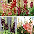 Las semillas 100pcs Malva (Alcea Rosea 'Nigra') mezclado semillas de flor color perenne planta para el jardín de embellecimiento de decoración 1