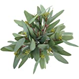Greentime 8 Pack Artificial Eucalyptus Long Olive Leaf Stem Eucalyptus Spray Faux 13 Inches Greenery Eucalyptus Leaves…