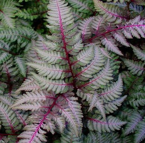 (Regal Red Japanese Painted Fern- Athyrium - Shade Lover - Live Plant - 4