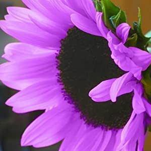 Blisscomdep 100Pcs Rare Purple Sunflower Seeds Beautiful Flower Home Garden Yard Ornament Plant