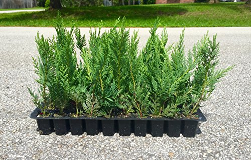 Leyland Cypress Qty 60 Live Plants Evergreen Privacy Trees (Cypress Arbor)