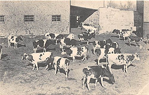 Old Vintage Shaker Post Card A Herd of Guernsey Cows, East Canterbury, New Hampshire, NH, USA Unused ()