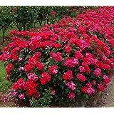 Red Double Knockout Rose, Quart Pot
