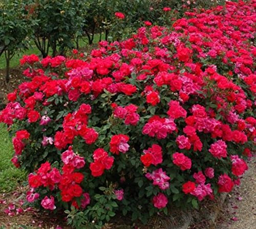 New Life Nursery & Garden- - Red Double Knockout Rose'', Quart Pot by New Life Nursery & Garden