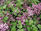 Dwarf Korean Lilac - 4'' Pot - Syringa meyeri 'Palibin'