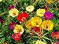 Portulaca Sun Purslane Moss Rose Pigweed Mixed Garden Flower Heirloom 2000 Seeds