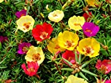 Portulaca Sun Purslane Moss Rose Pigweed Mixed Garden Flower Heirloom 2000 Seeds Review