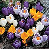 Burpee Giant Crocus Mix | 12 Large Flowering Fall Bulbs for Planting, Multiple Colors