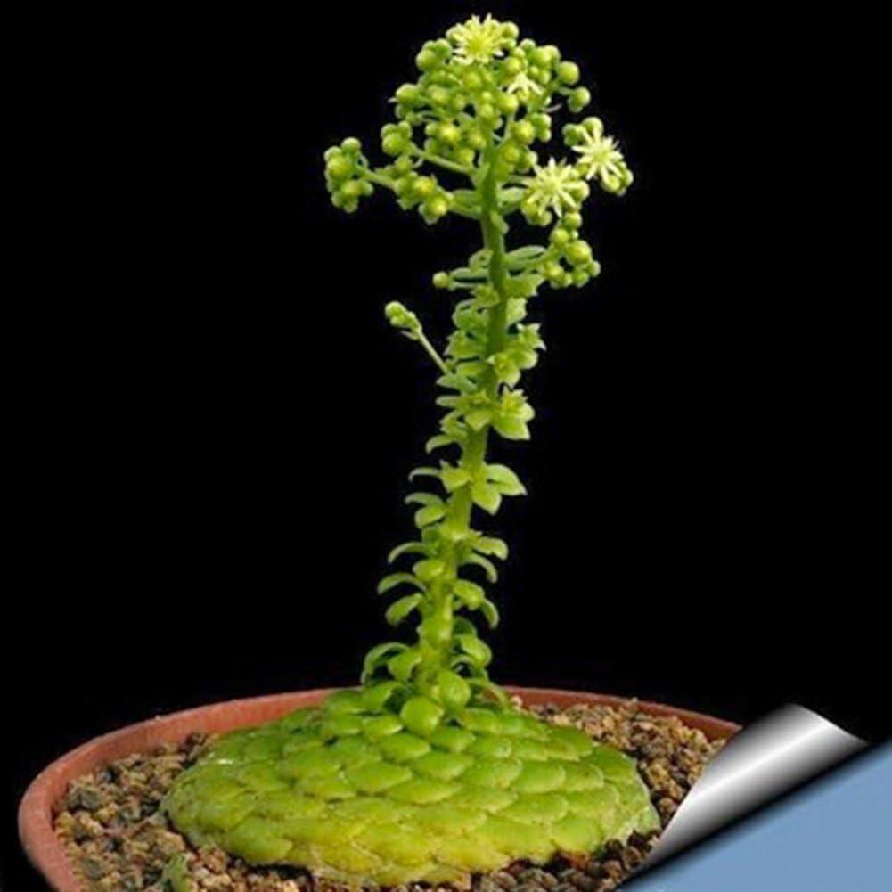 FOReverweihuajz Aeonium Tabulaeforme Seeds-Aeonium Tabulaeforme ...