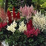 Astilbe - Premium Mixed Colors - Set of 3 Roots