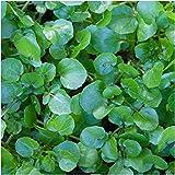 Watercress - Herb Seeds