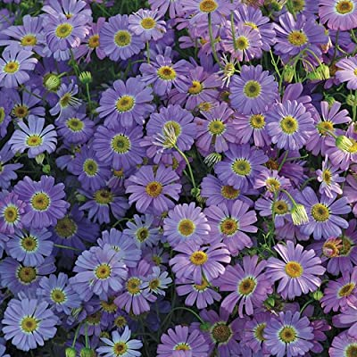 50+ Lavender-blue Brachycome Daisy-like Flower Seeds /Annual / Easy to Grow : Flowering Plants : Garden & Outdoor
