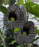 20 Aristolochia elegans Elegant Dutchmans Pipe Calico Flower Seeds