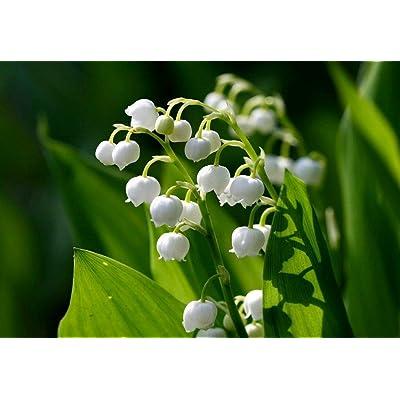 10 Lily of The Valley (Convallaria majalis) Bulbs - Fresh Bulbs Flower Spring Summer Beautiful Garden : Garden & Outdoor