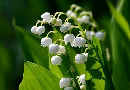Amazon Com 10 Lily Of The Valley Convallaria Majalis Bulbs Fresh Bulbs Flower Spring Summer Beautiful Garden Garden Outdoor