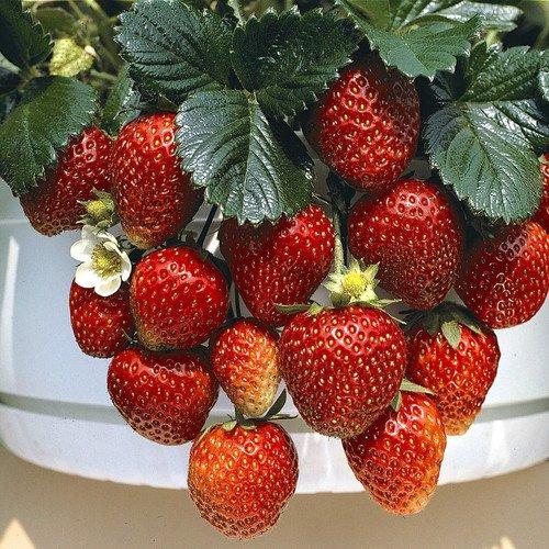 Plant World Seeds - Strawberry 'Temptation' F1 Seeds