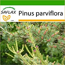 SAFLAX - Japanese White Pine (Pinus parviflora) - 10 seeds - With potting soil