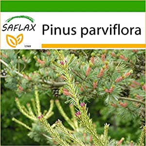 SAFLAX - Pino blanco japonés - 10 semillas - Con sustrato - Pinus parviflora