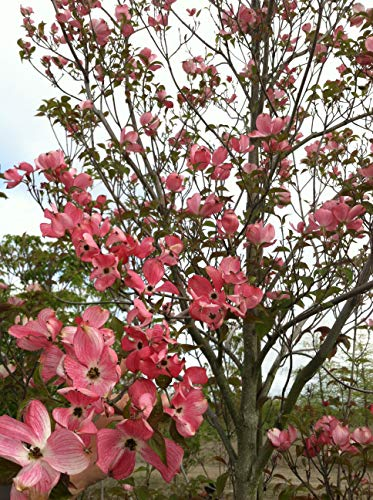 1 Gallon Cherokee Brave Dogwood, Pink Blooms Live Potted Plant -