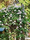 Perennial Farm Marketplace Clematis montana var. rubens Pink Anemone Flowering Vine, 4 quart, Pale Pink