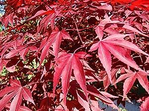 Japanese Maple Small Seeded (BONSAI) Tree Seeds (Acer palmatum) 15+Seeds