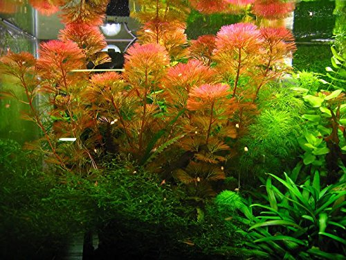 - Red Cabomba - Cabomba furcata, Cabomba piauhyensis - 1 Bunch - Live Aquarium Plant
