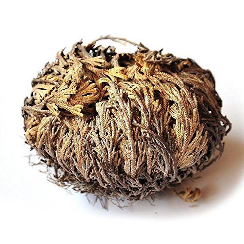3-Piece AURA VARIETY Rose of Jericho Resurrection Plant with