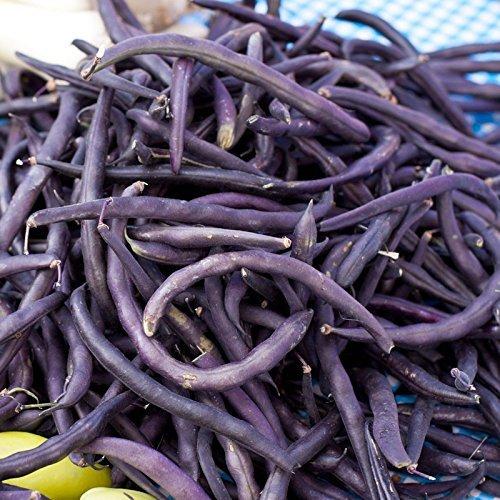 Bean Royal Purple Pod Bush Great Heirloom Garden Vegetable by Seed Kingdom Bulk 5 Lb Seeds by seed kingdom