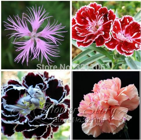 200 Dianthus Seeds 16 kinds mixed packed Sweet William flower easy to grow high germination DIY garden (Grow Sweet William)