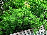 10 Seeds Asparagus densiflorus (Myriocladus) Excellent House Plant