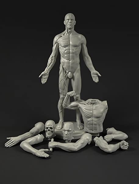 Male Adaptable Anatomy Figure 13 4 Inch Anatomical Reference For Artists Grey Amazon Co Uk Kitchen Home