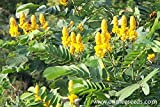Cassia Alata / Candlestick / Candelabra Bush Seeds. Butterfly garden. Sulphur butterfly host plant. Magnificent yellow flowers! (12+ Seeds)