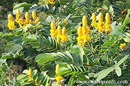 Amazon cassia alata candlestick candelabra bush seeds cassia alata candlestick candelabra bush seeds butterfly garden sulphur butterfly host plant mightylinksfo