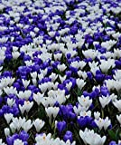 "Crocus Blue & White Bulbs Mix -LARGE FLOWERING, White,Purple/blue, size: 8/9"".(10 Bulbs)"