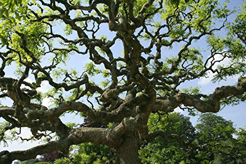 Portal Cool Seeds: Japanese Pagoda Tree, Weeping, Flowering Tree, Ideal Bonsai!Fully Cold Hardy, Seeds