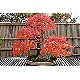 Japanischer roter Ahorn / Fächerahorn / Acer palmatum atropurpureum / ca. 50 Samen / Baum- und Bonsai geeignet