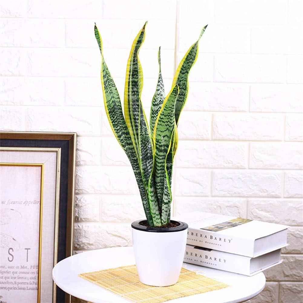 Luo-401XX 400 Piezas De Semillas De Flores Sansevieria, Hermosa Planta Ornamental De Balcón De Bonsai Fácil De Cultivar para La Decoración del Jardín del Hogar Semillas Sansevieria