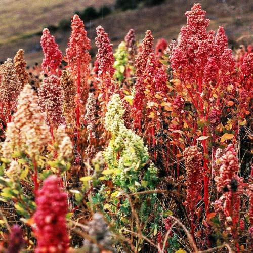 (100 Brilliant Rainbow Quinoa Mixed Color Chenopodium Grain Green Vegetable Seeds)
