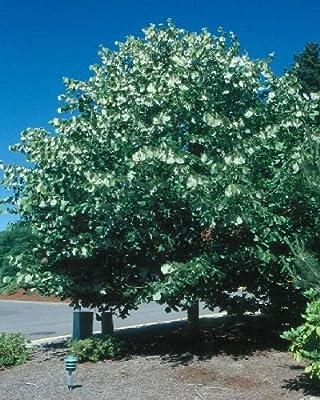 1000 Silver Linden Tree Seeds, Tilia Tomentosa