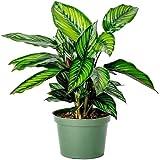 "AMERICAN PLANT EXCHANGE Calathea Beauty Star Pet Friendly Live Plant, 6"" Pot, Indoor/Outdoor Air Purifier"