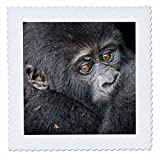3dRose Danita Delimont - Baby animals - Africa, Uganda, Bwindi Impenetrable Forest. Mountain gorilla baby. - 22x22 inch quilt square (qs_276637_9)