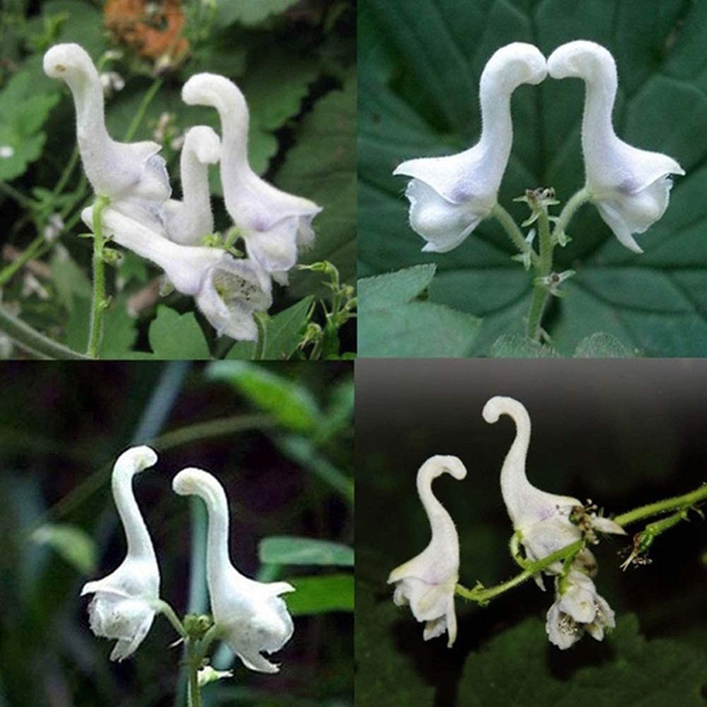 lamta1k 100Pcs Rare Flying Duck Orchid Semillas Ornamental Flower Garden Yard Bonsai Garden Plant/Beautiful Flower Fresh Herb Decor - Flying Duck Orchid Semillas