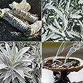 White sage 20-750 Seeds Organic Herbs salvia apiana Medicinal Rare Perennial