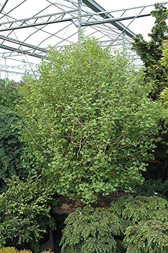 Planting Ginkgo Tree (5 Year PLANT of Ginkgo Biloba Tschi tschi)