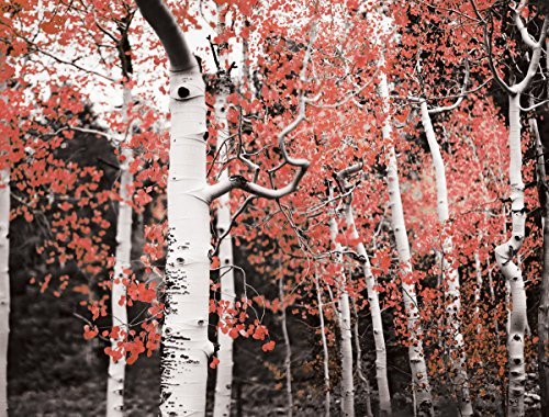 JP London PMUR2179 Peel and Stick Removable Wall Decal Sticker Mural, Ruby Red Birch Tree Forest, 4 x (Ruby Stick)