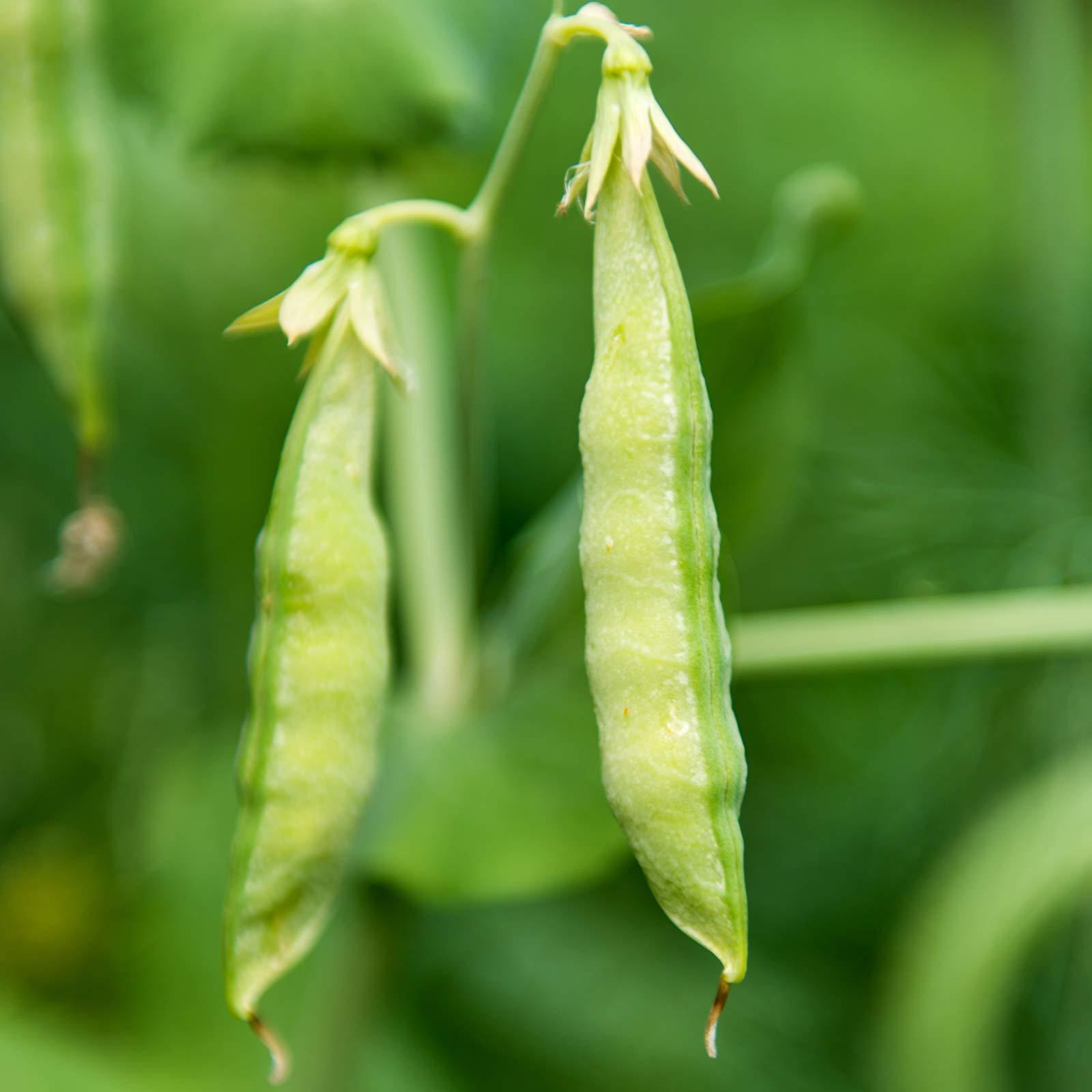 Organic Yellow Pea Sprouting Seeds - 50 Lb Bulk - Non-GMO, Heirloom - Microgreens Pea Shoots, Sprouts, Vegetable Garden, Cover Crop