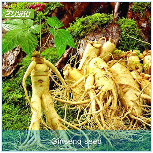 Seed 50pcs Ginseng Bonsai Plants for Home Rare Perennial Fragrant Plants Supernatural Products Natural Herbs ()