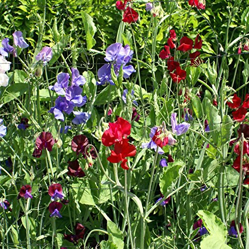Sweet Pea Flower Garden Seeds - Royal Family Mix - Annual Flower Gardening Seeds - Lathyrus odoratus (5 Lb Bag) by Mountain Valley Seed Company