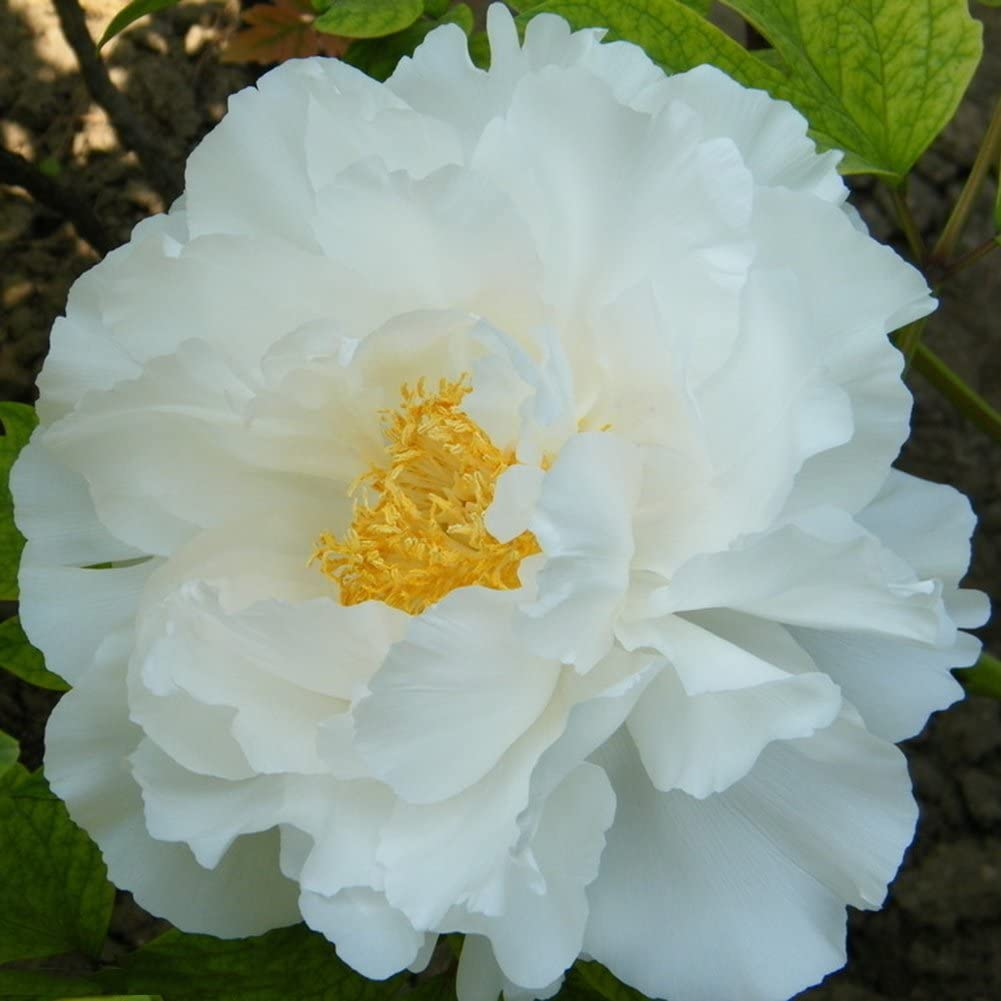 lamta1k 10 Piezas Floración de Semillas de Flor de peonía floreciente perenne Calidad de Plantas perennes y Alta tasa de Supervivencia s Home Garden Decor - Semillas de peonía Blanca